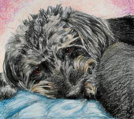 Buddy a Pet Dog Colour Pencil Portrait by JuliaArts South Yorkshire